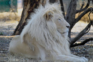 Letsatsi, the White lion. (Son of Temba)